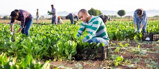Les employeurs agricoles ont jusqu'au31mars2021 pour renoncer à l'exonération de cotisations sociales patronales liée à l'embauche de travailleurs occasionnels au profit de la réduction Fillon.